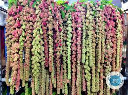 Amaranth Sprays-Love lies bleeding–Filter paper-3 piece