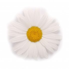 German Chamomile(Chamomile Matricana)10mls-Essential Oil