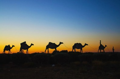 Camels near Birdsville
