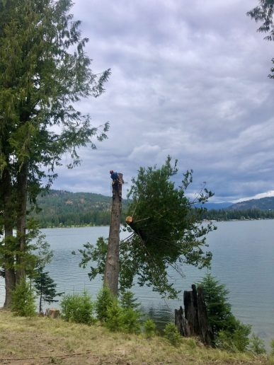 The top coming out of a cedar tree and into Lake Pend Oreille