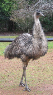 Emu strolling along the main street of Donnelly River