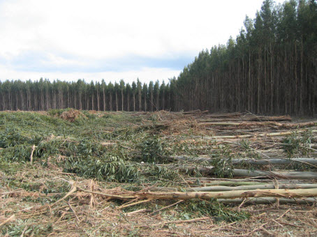 Trees awaiting debarking and chipping, and others awaiting death