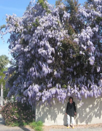 wisteria mission avenue 5 3_25_13