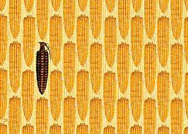 monsanto corn bomb