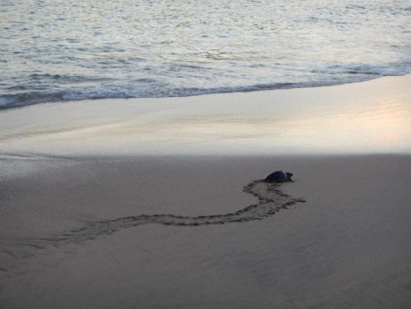 One Sea Turtle