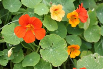 nasturtium-orange-and-yellow-thumbnail