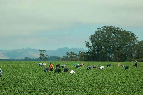 2813045688_f64a036372_strawberry-farm-workers1