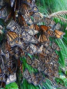 monarchs on pine branch