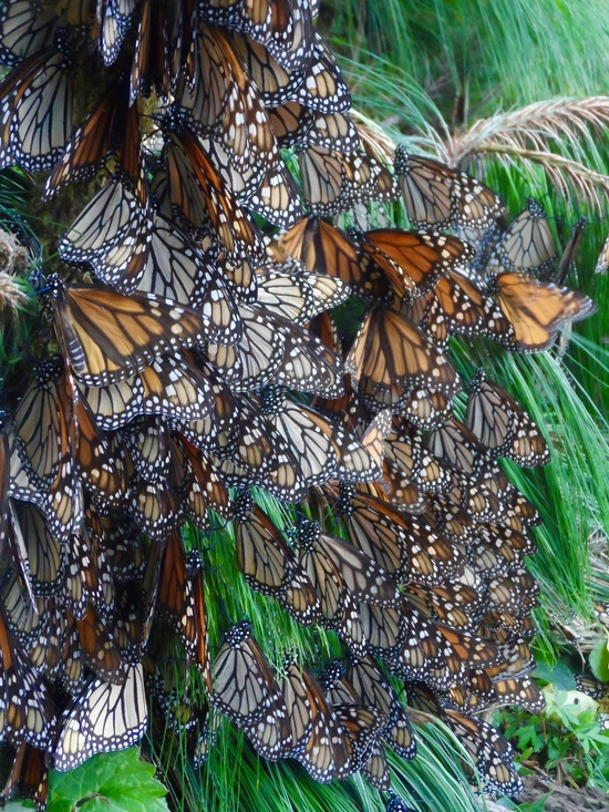 Dozens of monarch butterflies cling to a pine branch, the beginning phase of forming a dense cluster.