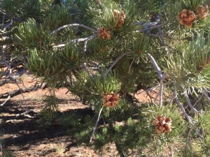 Pinyon pine with cones