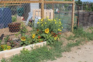 Plot at the Tijuana River Valley Community Garden with flowerbed of sunflowers, nasturtiums and coreopsis