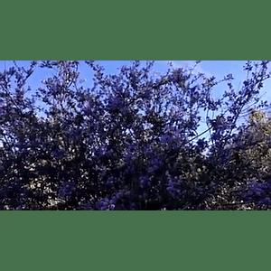 Geo-Poetic Spaces: Lavender Shroud