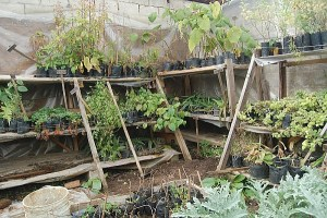 Food plants in nursery