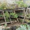 Food plants in nursery