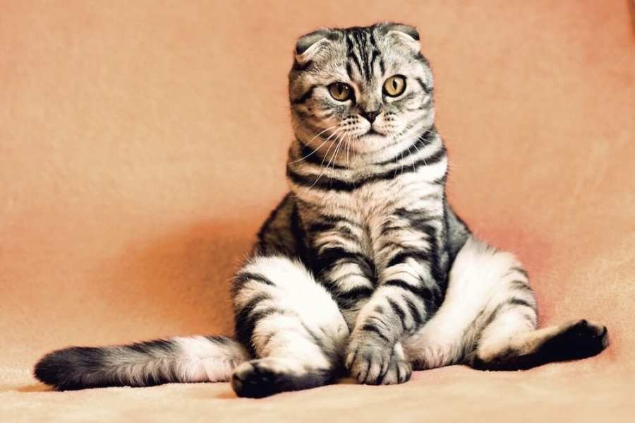 fat cat sitting up. Interesting facts about Malaysia