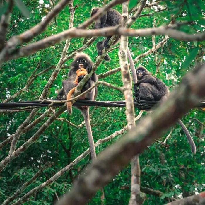 Dusky leaf monkey with orange baby