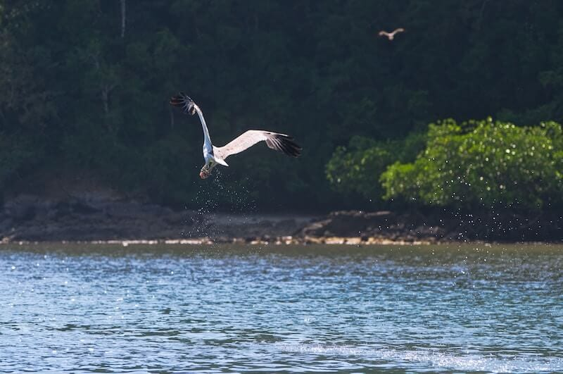White bellied eagle flying over the water in Langkawi