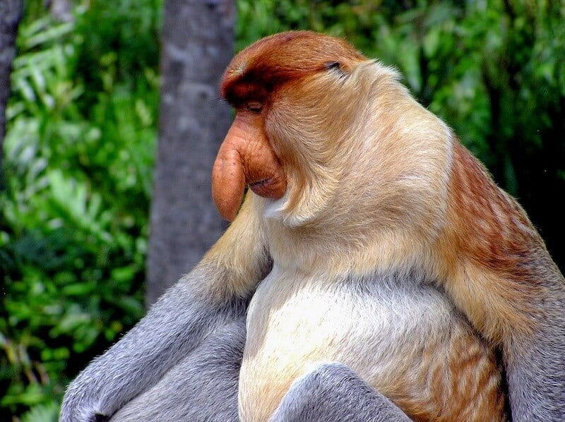 Proboscis moneywith big hanging nose