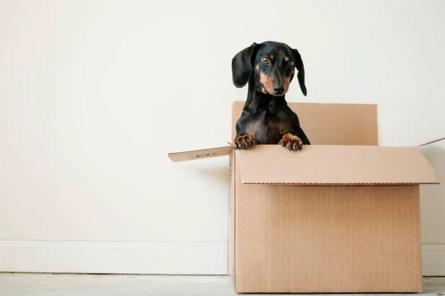 daschund in a moving box