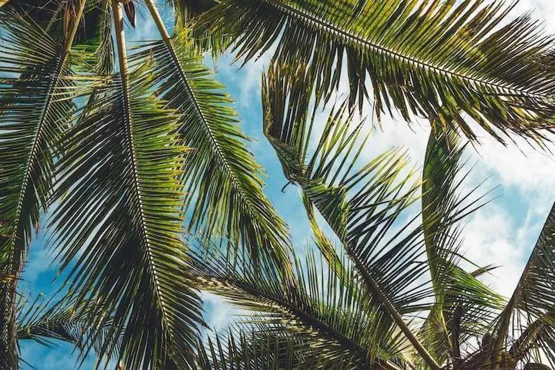 palm leaves blue skies