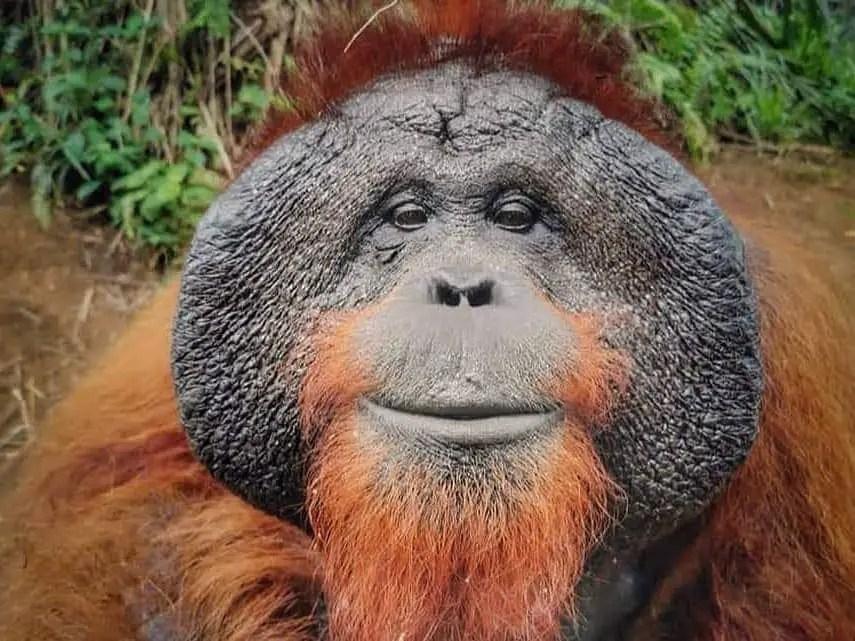 orangutan: unique places in penang