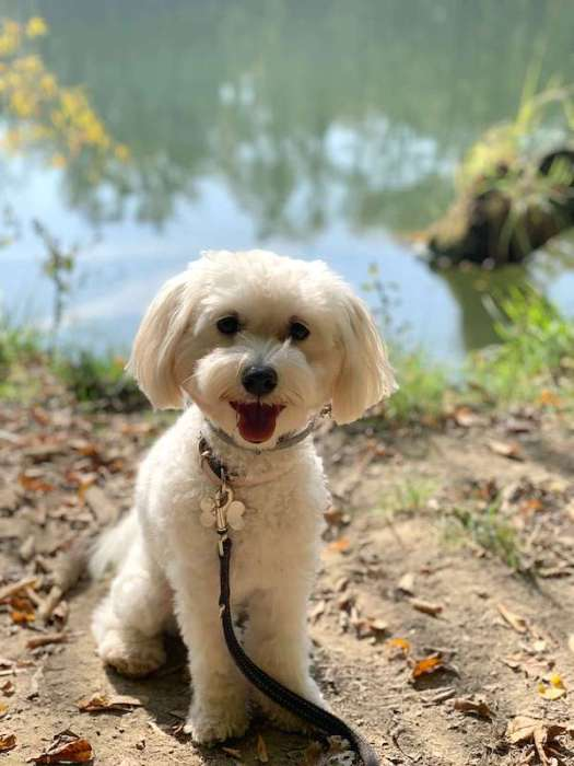 Bella: a white poodle by the water