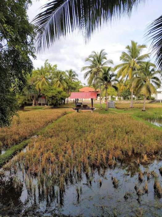 Rice paddy in Langkawi-best places to live in Malaysia
