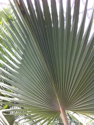 Sharp, big frond palm....