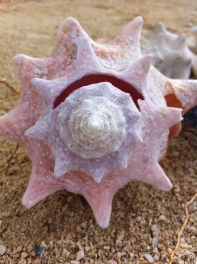Soft pink spiral of the Conch