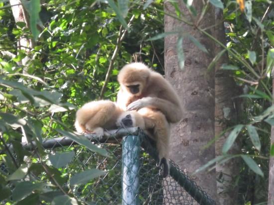 Des gibbons