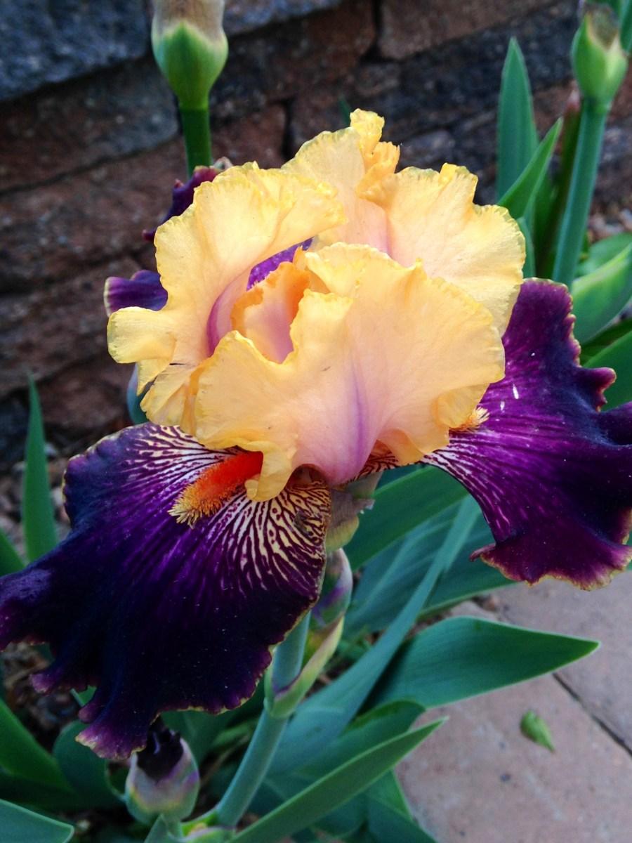 Bearded Iris Sandoval County Master Gardeners