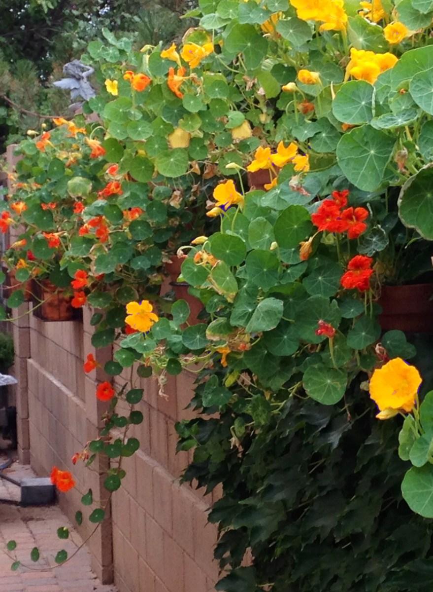 Plant of the Month - Nasturtium