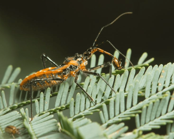 Beneficial of the Month - Assassin Bug