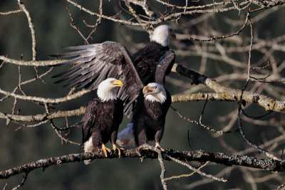 eagles-trees