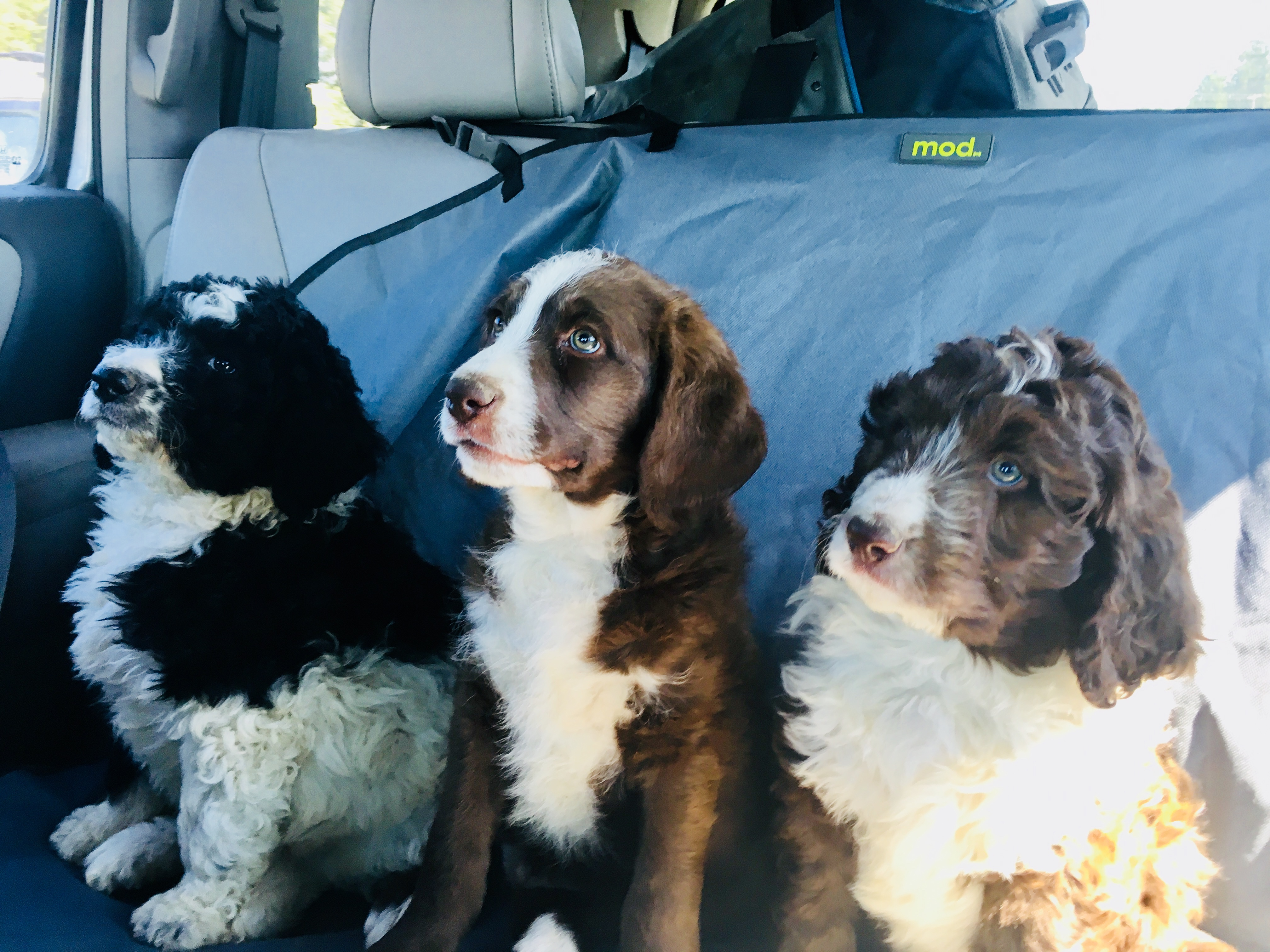 Bernedoodle Labradoodle Goldendoodle And Doubledoodle Puppies