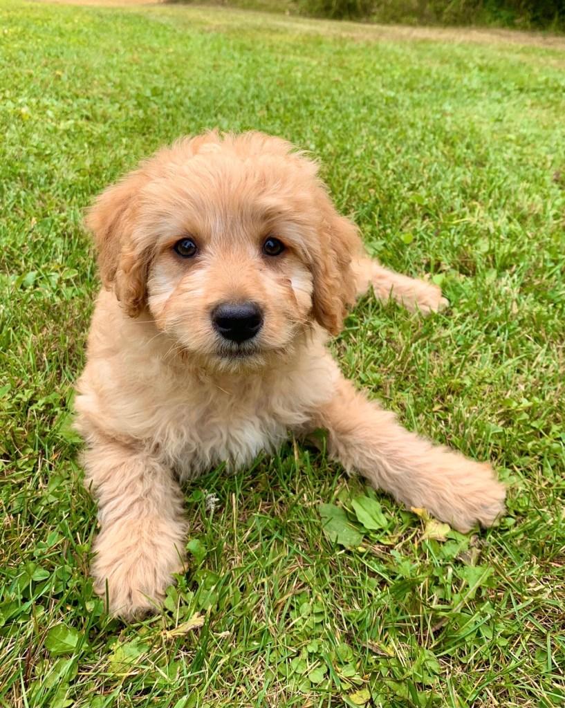Reserved. Leo mini-goldendoodle     $7500