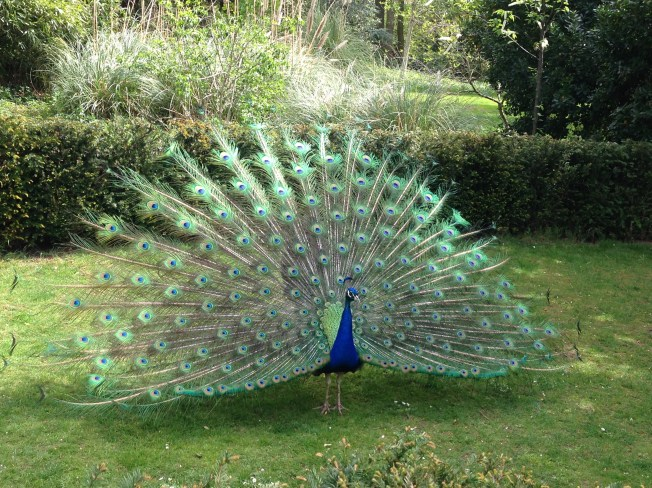 There was even a peacock there!