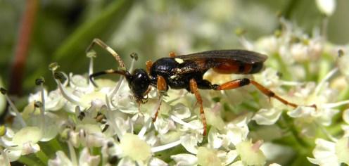 agrothereutes abbreviatus