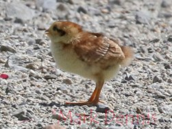 chick 7 rs watermark
