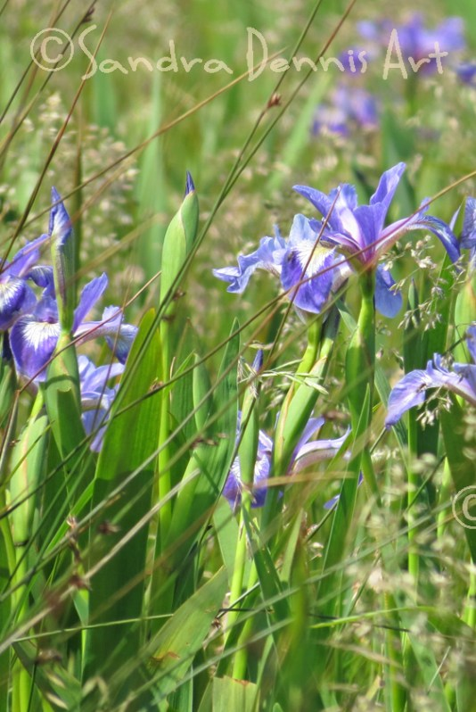 blue iris baccaro rs watermark