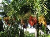 Kakao- oder Kaffeebäume