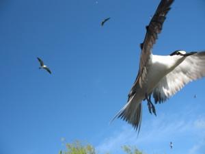 BirdSootyTern©2007SHBenoiton