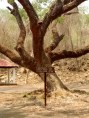 Embalse de Burro negro, árbol legendario