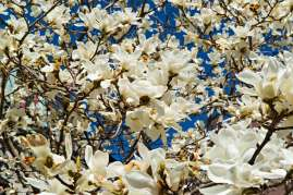 Sweet Magnolia flowers in Montreal