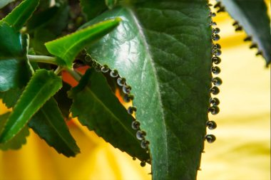 Kalanchoe daigremontiana - Alligator Plant