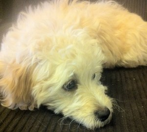Pearl, a fluffy white Malti-poo, looking sad.