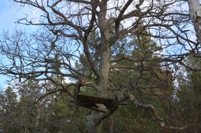 Štābs kokā, foto Sandra Veinberga