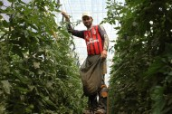 Tomātu plantācija Dakhla 3