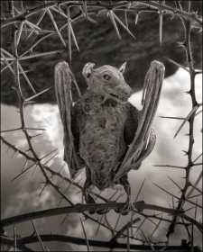 -Nick-Brandt-Calcified-Bat-deadly-lake-in-tanzania-calcifies-animals--02Nick+Brandt