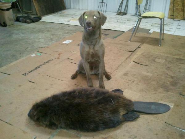 65# beaver